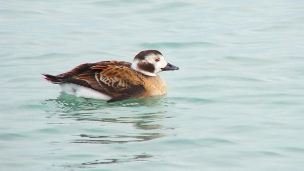 long-tailed duck - female - bluffers park - toronto