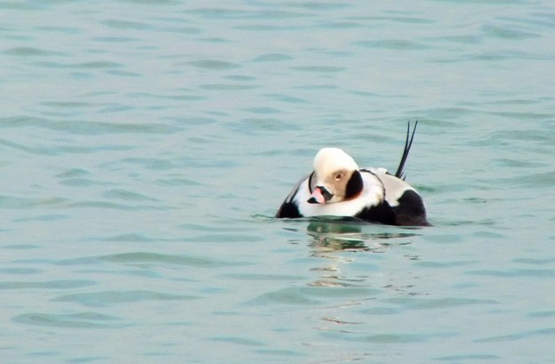 long-tailed duck - male - bluffers park - toronto 2