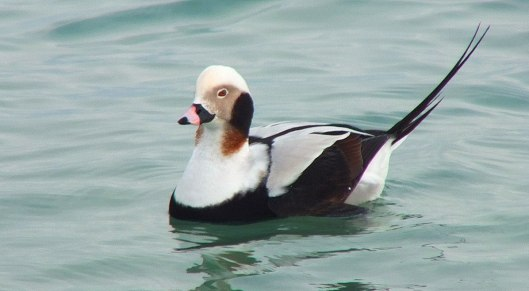 long-tailed duck - male - bluffers park - toronto 3