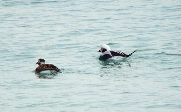 long-tailed ducks - bluffers park - toronto