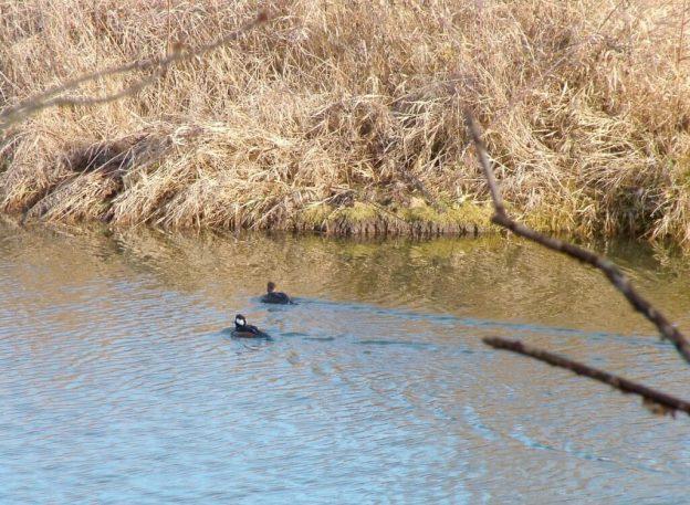 male and female hooded merganser in channel - reifel bird sanctuary 2