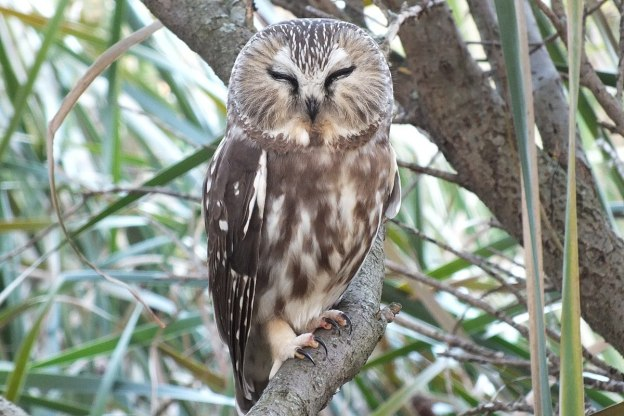 northern saw whet owl - toronto - ontario 12