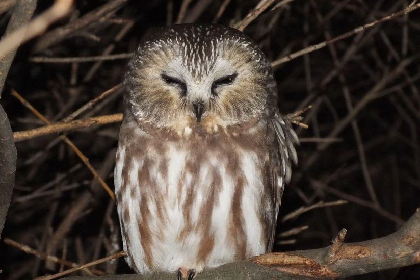 northern saw whet owl - toronto - ontario 5