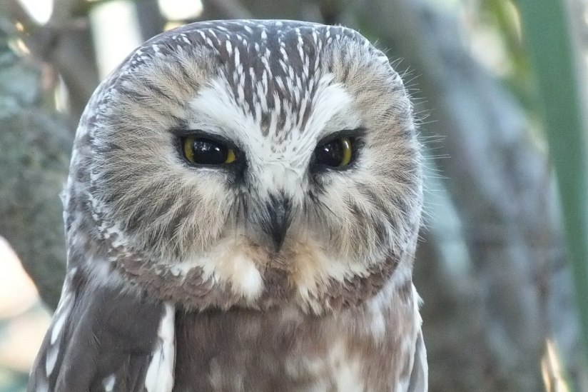 Northern Saw-Whet Owl in Milliken Park in Toronto, Ontario, Canada