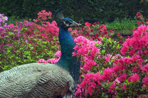 An image of a Peacock standing beside pink flowers at Keukenhof Gardens near Lisse, in the Netherlands. Photography by Frame To Frame - Bob and Jean.
