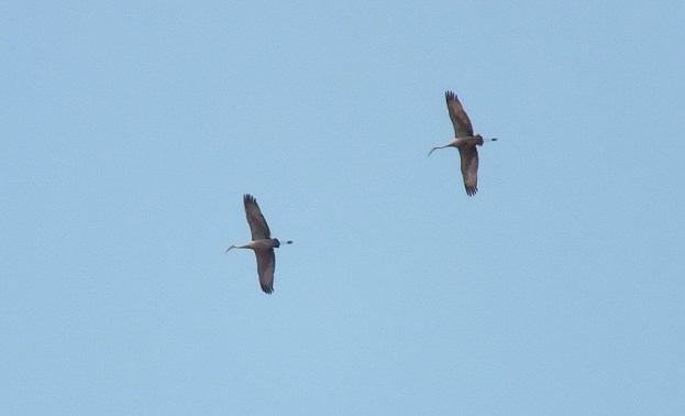 Sandhill cranes flying above Cootes Paradise in Hamilton, Ontario, Canada