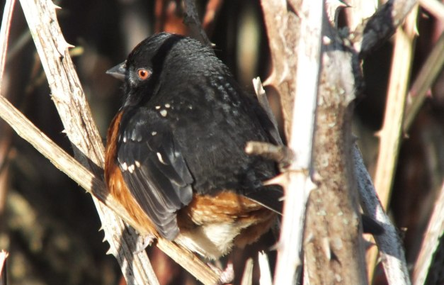 Spotted towhee at Reifel Migratory Bird Sanctuary in Delta, BC, Canada.