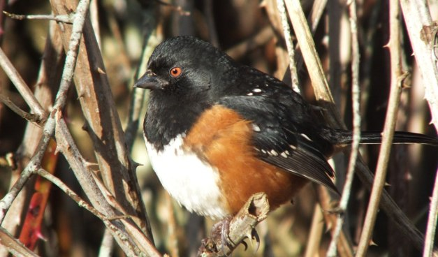 Spotted towhee sitting on a bush at Reifel Migratory Bird Sanctuary in Delta, BC, Canada.