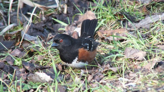 Spotted towhee on the ground at Reifel Migratory Bird Sanctuary in Delta, B.C., Canada