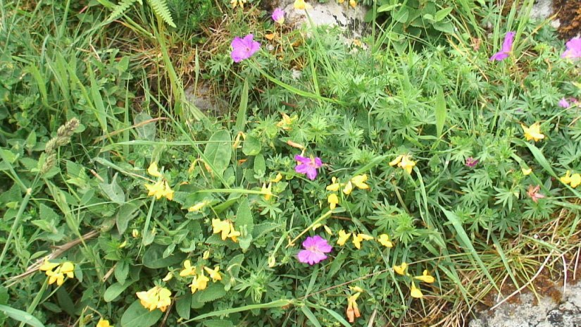 bloody cranesbill and yellow flowers growing on the burren - ireland -