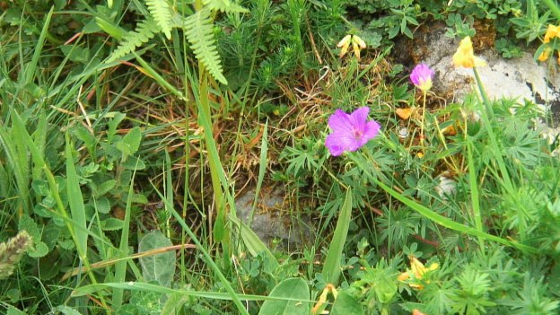 bloody cranesbill growing on the burren - ireland -