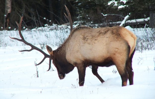 bull elk digs in snow near lake louise 3