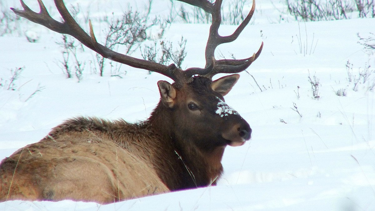 bull elk in winter near lake louise