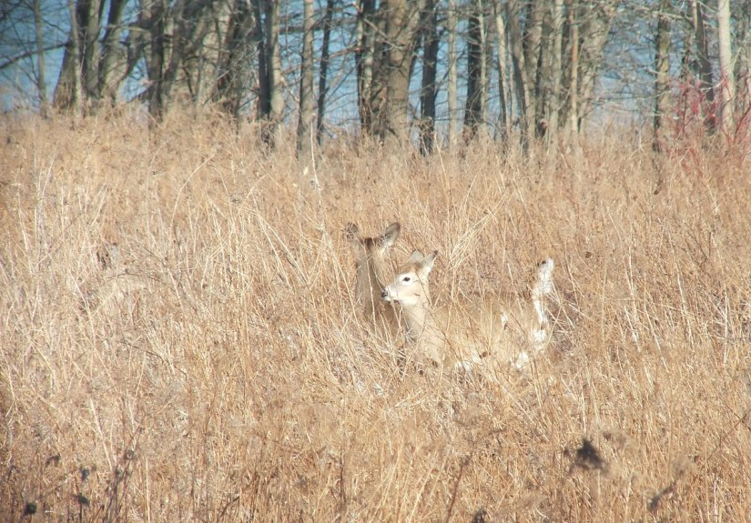 deer standing in tall grass at lynde shores - whitby