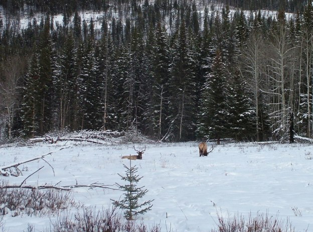 elk on snowy meadow near lake louise 2