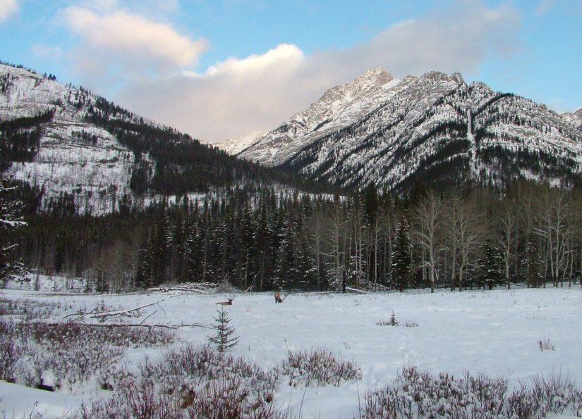 elk on snowy meadow near lake louise 3