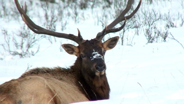 elk sitting on snow near lake louise 4