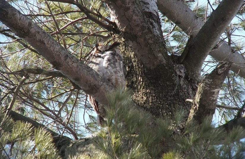 great horned owl in thicksons woods - whitby 10