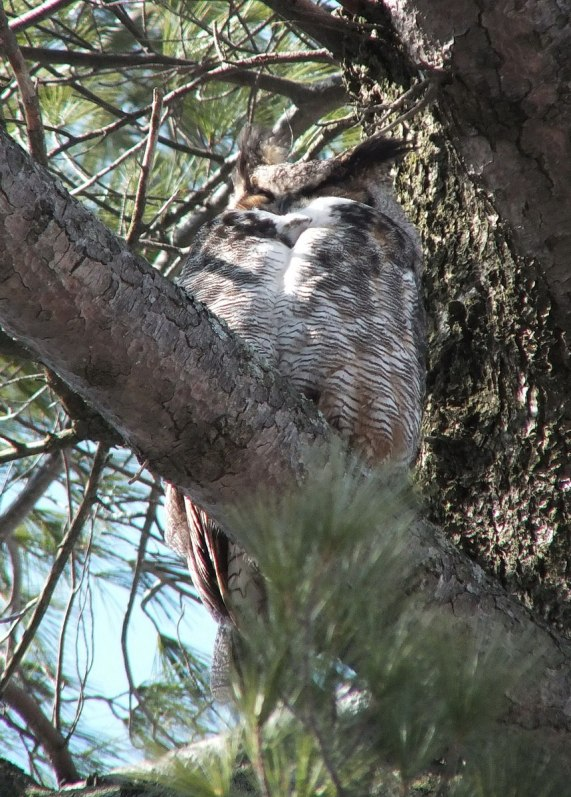 great horned owl in thicksons woods - whitby 5