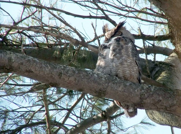 great horned owl in thicksons woods - whitby 6