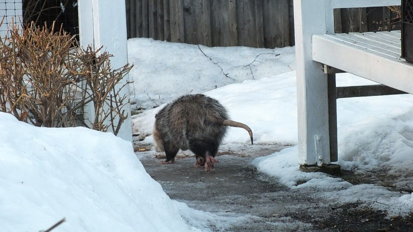 a virginia opossum in toronto backyard, ontario