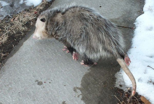 opossum in toronto backyard - 1