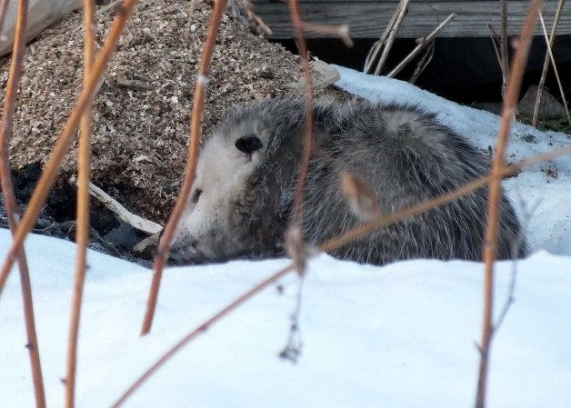 opossum in toronto backyard - 3