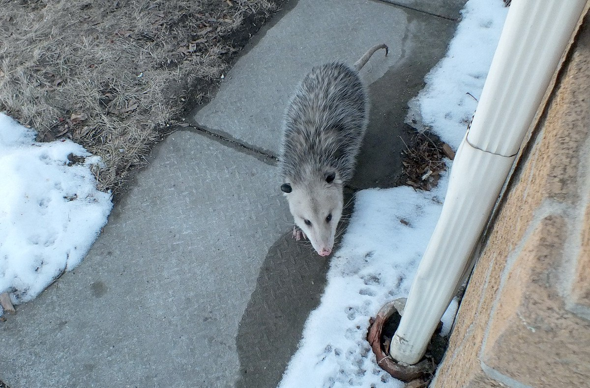 an opossum visits my toronto backyard