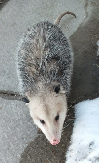 opossum in toronto backyard - 6