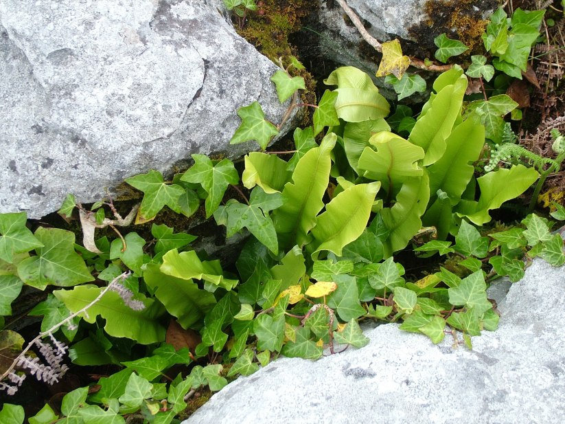 ox tongue ferns and ivy growing on the burren - ireland