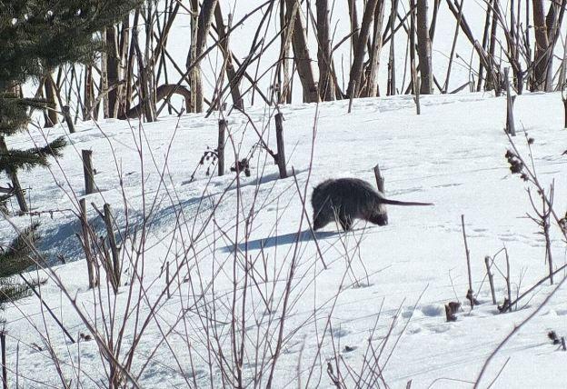 possum walks on snow in toronto 2