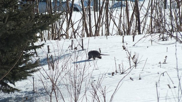 possum walks on snow in toronto