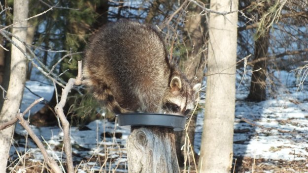 raccoon in bird feeder at lynde shores - whitby