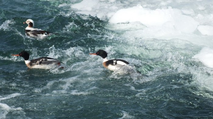 red-breasted mergansers swim from ferry - icy toronto harbour