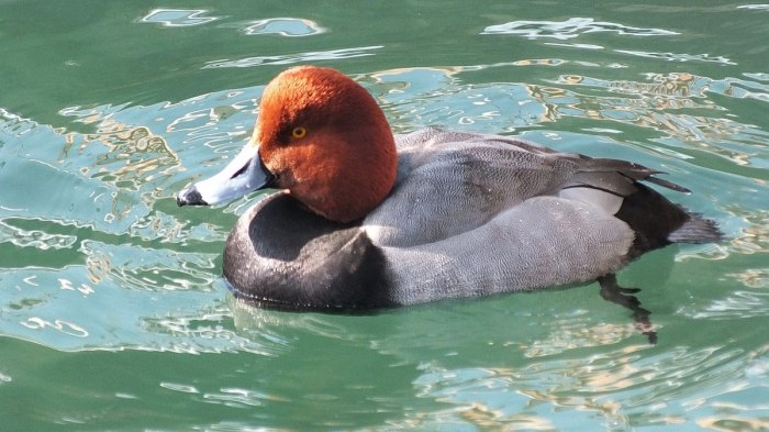 redhead duck swimming in toronto harbour