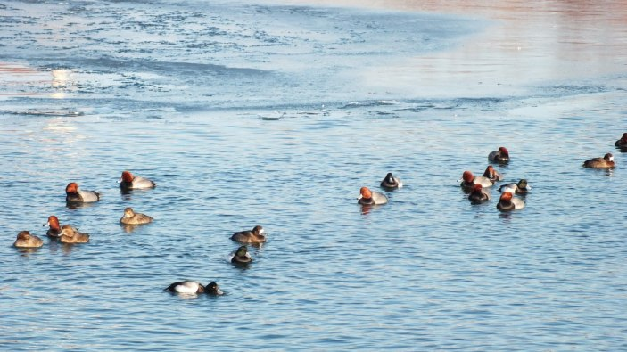 redhead ducks along ice in toronto harbour