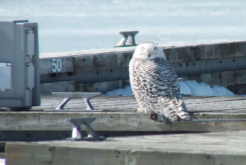 Snowy owl sleeping on a dock at Colonel Samuel Smith Park in Etobicoke, Ontario, Canada