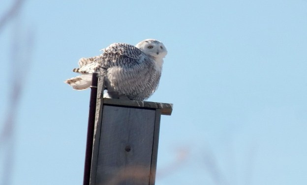 Snowy Owl on a birdhouse at Colonel Samuel Smith Park, Etobicoke, Ontario, Canada