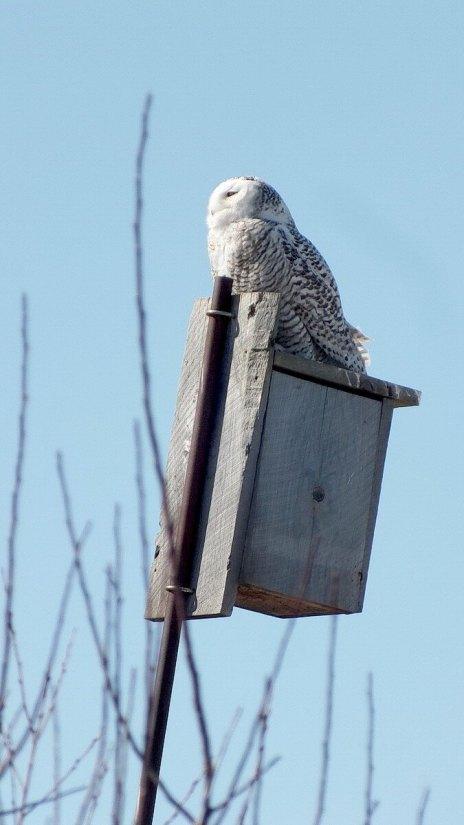 Snowy Owl sitting on a birdhouse at Colonel Samuel Smith Park, Etobicoke, Ontario, Canada