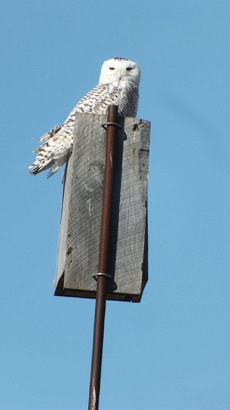 Snowy Owl sitting on a birdhouse at Colonel Samuel Smith Park in Etobicoke, Ontario
