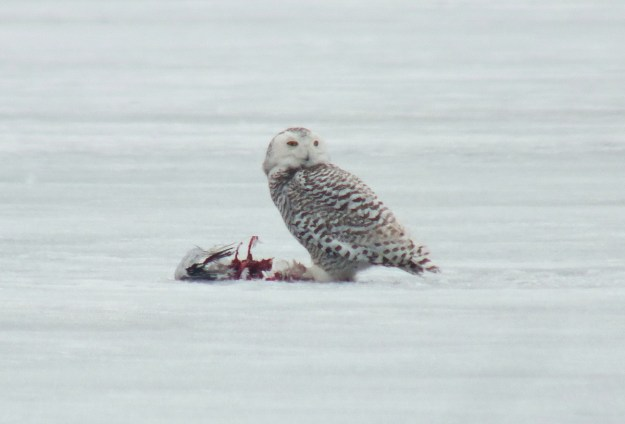 Snowy owl beside bird kill on the ice in Pickering, Ontairo, Canada