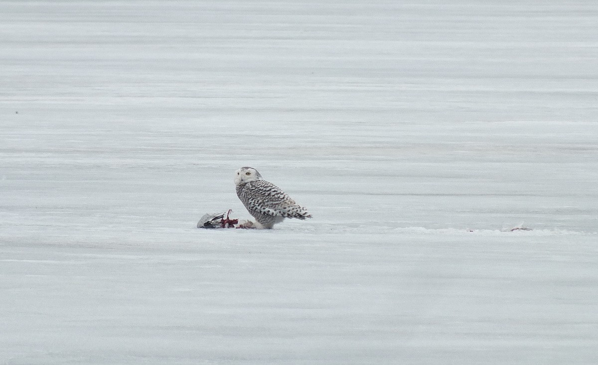 Snowy Owl With Kill On The Ice At Frenchman's Bay
