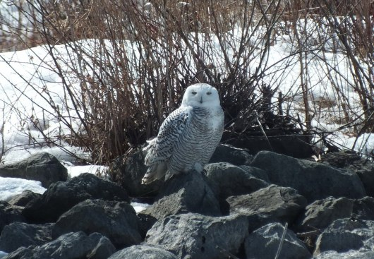 snowy owl sitting on rocks at Colonel Samuel Smith Park - etobicoke 3