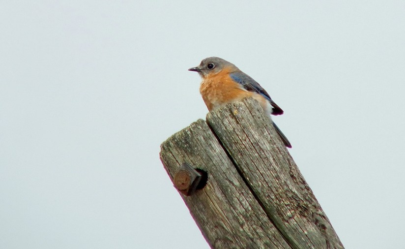 eastern bluebird female along brant waterloo road_cambridge_ontario 2