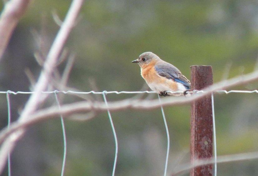 eastern bluebird - female - brant waterloo road_cambridge_ontario 3