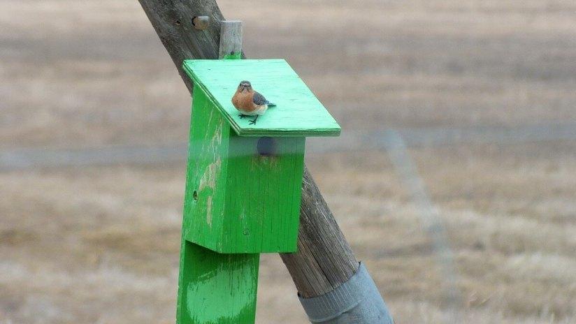 eastern bluebird -female - brant waterloo road_cambridge_ontario 6