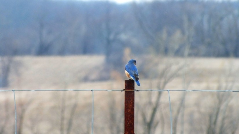 eastern bluebird male along brant waterloo road_cambridge_ontario 12