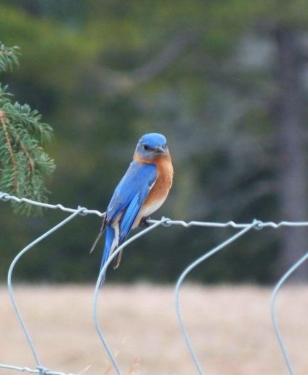 eastern bluebird male along brant waterloo road_cambridge_ontario 9