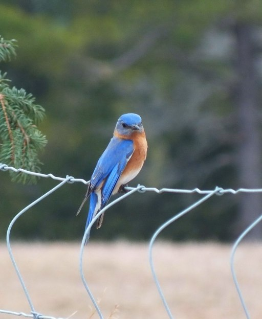 An image of an eastern bluebird male along brant waterloo road near Cambridge, Ontario. Photography by Frame To Frame - Bob and Jean.