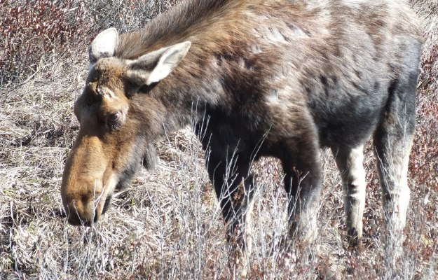 moose in algonquin park_ontario_spring2014 - 5